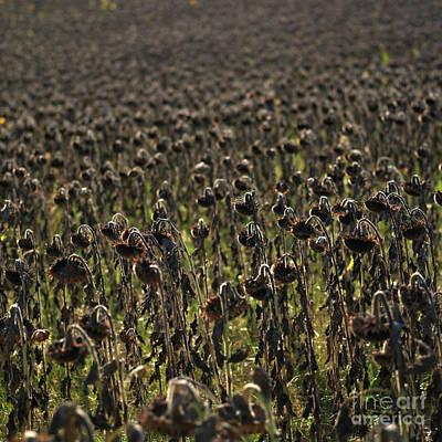 Field Of Sunflowers Art Print by Bernard Jaubert
