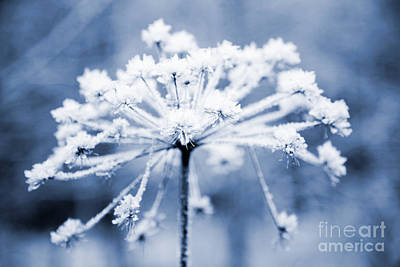 Cow Parsley Wall Art - Photograph - Frozen Flower by Kati Finell