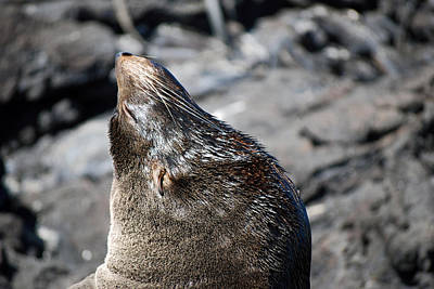 Photograph - Fur Seal by Harvey Barrison