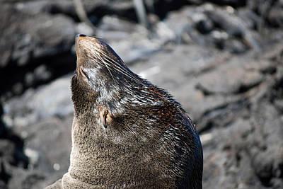 Photograph - Fur Seal by Harvey Barrison