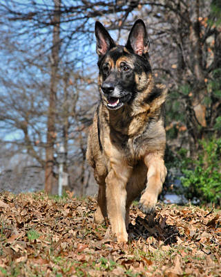 Photograph - German Shepherd by Jai Johnson