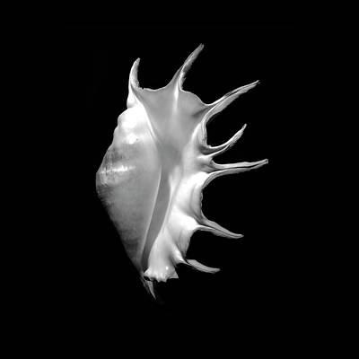Photograph - Giant Spider Conch Seashell Lambis Truncata by Frank Wilson