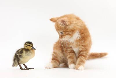 Mallard Ducklings Photograph - Ginger Kitten And Mallard Duckling by Mark Taylor