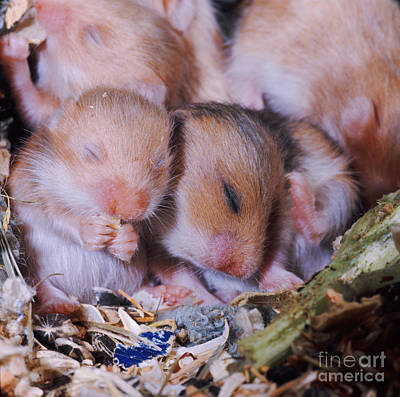 Syrian Hamster Photograph - Golden Hamster by Jane Burton