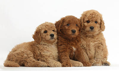 Golden Doodle  - Goldendoodle Puppies by Mark Taylor