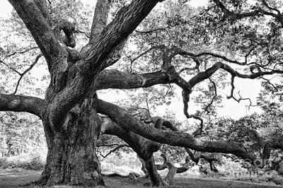 Granby Oak Art Print by HD Connelly