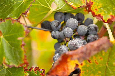 Vino Photograph - Grapes On The Vine by Andy Dean