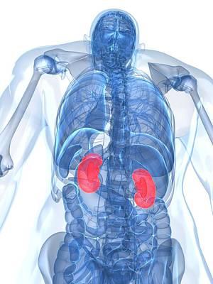 X-ray Image Digital Art - Healthy Kidneys, Artwork by Sciepro
