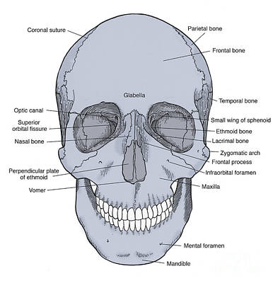 Mental Process Photograph - Illustration Of Anterior Skull by Science Source