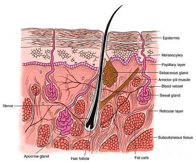 Illustration Of Skin Section Art Print