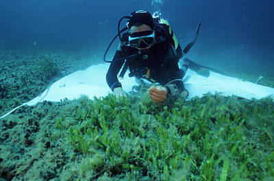 Underwater Breathing Photograph - Invasive Seaweed Control by Alexis Rosenfeld