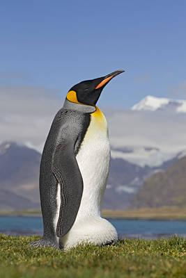 King Penguin Aptenodytes Patagonicus Print by Ingo Arndt