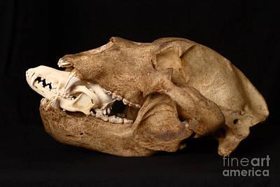 Kodiak Bear Skull With Coyote Skull Art Print by Ted Kinsman
