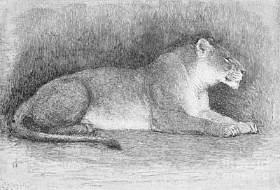 Lion Art Print by Granger