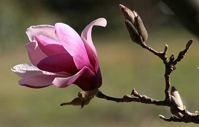 Magnolia World Of Beauty Art Print by Valia Bradshaw