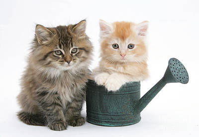 Of Cats Photograph - Maine Coon Kittens by Mark Taylor