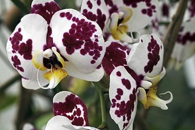 Orchid Flowers Art Print by Dirk Wiersma