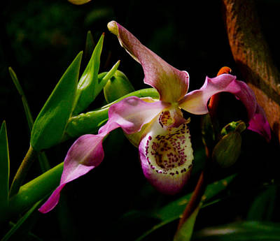Photograph - Paphiopedilum by Chua  ChinLeng