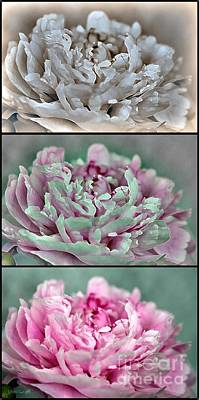 Shirley Temple Digital Art - Peony Named Shirley Temple by J McCombie