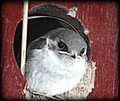 Digital Art - Red Barn Birdie by Kathy Sampson