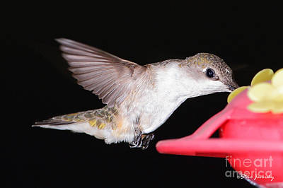 Ruby Throated Hummingbird Art Print by Steve Javorsky