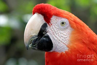 Colourfull Photograph - Scarlet Macaw by Henrik Lehnerer