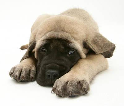 Mastiff Pup Photograph - Sleeping Puppy by Jane Burton