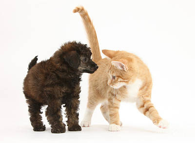 Toy Poodle Puppy With Kitten Art Print by Mark Taylor