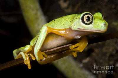 Frogs Photograph - Tree Frog by Dante Fenolio
