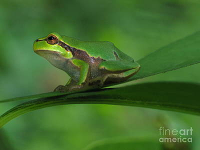 Pink Black Tree Rainbow Photograph - Tree Frog by Odon Czintos