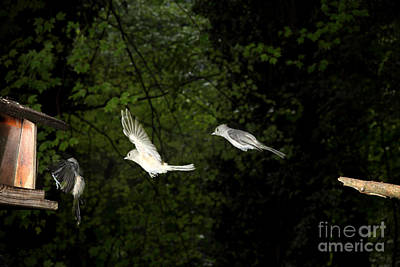 Strobe Photograph - Tufted Titmouse In Flight by Ted Kinsman