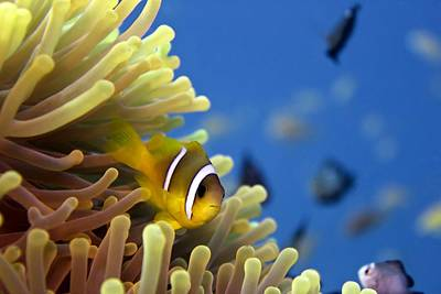 Clown Fish Photograph - Twoband Anemonefish by Dimitris Neroulias