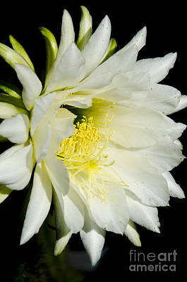 Photograph - White Cactus Flower by Jim And Emily Bush