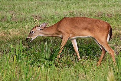 Photograph - Whitetail Deer by Ira Runyan
