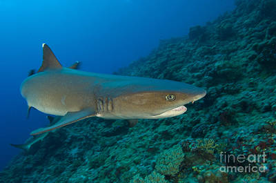 Photograph - Whitetip Reef Shark, Kimbe Bay, Papua by Steve Jones