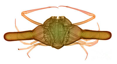 X-ray Of Deep Water Crab Print by Ted Kinsman