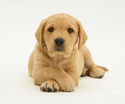 Yellow Labrador Puppy Print by Jane Burton