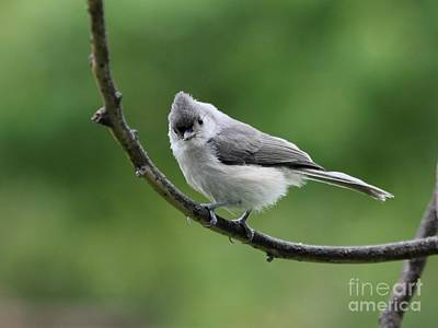 Tufted Titmouse Art Print by Jack R Brock