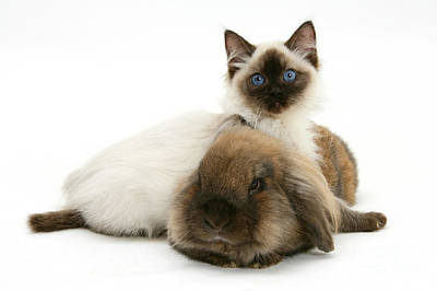 Ragdoll Kittens Photograph - Kitten And Rabbit by Mark Taylor