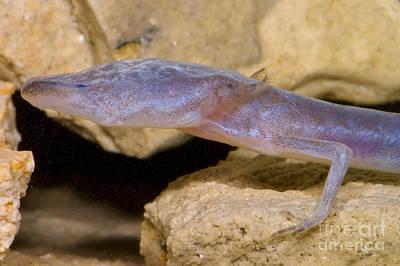 Plethodontidae Photograph - Austin Blind Salamander by Dante Fenolio