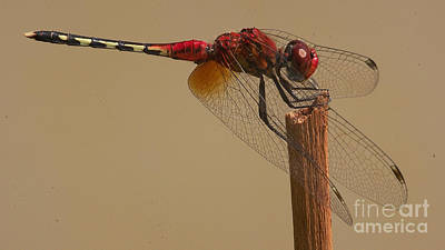 Photograph - Barbet Dragonfly by Mareko Marciniak