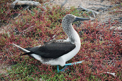 Photograph - Blue-footed Booby by Harvey Barrison