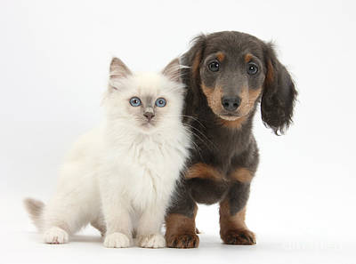 Dachshund Puppy Photograph - Blue-point Kitten & Dachshund by Mark Taylor