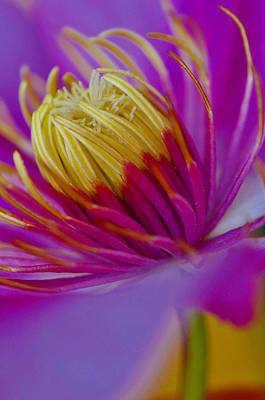 Photograph - Clematis by Martina Niederhauser