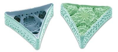 Diatoms Photograph - Diatoms, Sem by Steve Gschmeissner