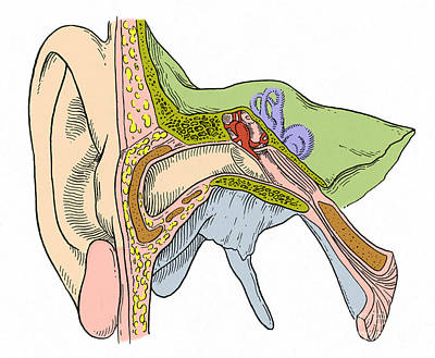 Photograph - Ear Anatomy by Science Source