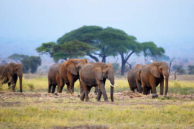 Photograph - Elephants by Michel Legare