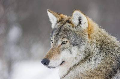 European Wolf Photograph - European Wolf In Winter by Roger Eritja