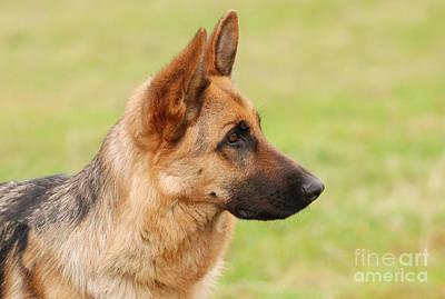 German Shephard Photograph - German Shepherd Dog by Waldek Dabrowski