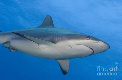 Photograph - Gray Reef Shark. Papua New Guinea by Steve Jones
